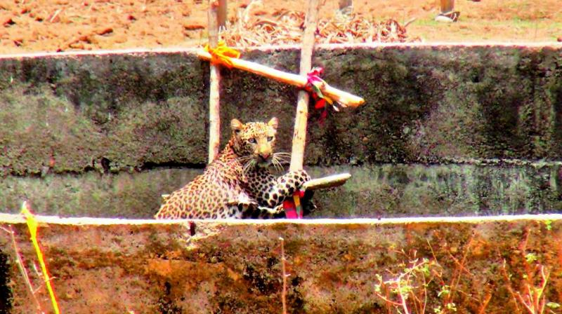 Presence of mind and a coo- rdinated effort between the Forest officials led by Officer V.S.N.V. Prasad, and the police, helped rescue the 3-year-old leopard which fell into an  agricultural well in Nirmal district.