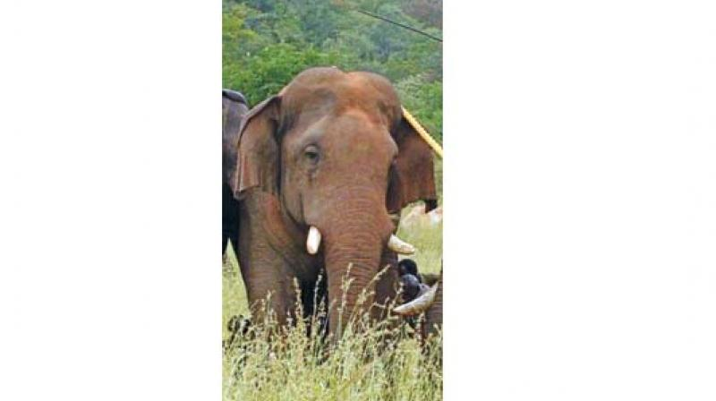 The so-called problematic wild elephant was recently tranquilized and relocated from Thadagam valley of Coimbatore and was released inside the dense forest of Anamalai Tiger reserve.