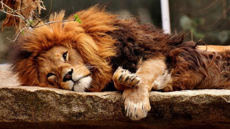 Chaos is undergoing radiation therapy to treat the lesions caused by skin cancer on his nose. South Africa has no radiotherapy hospitals for animals, thus the lion is being treated in a hospital for humans. (Photo: Representational/Pixabay)
