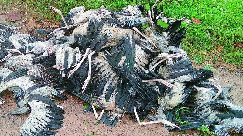Heavy rain and gusty winds kill many pelicans at the Telineelapuram bird sanctuary of Srikakulam district. (Photo: DC)