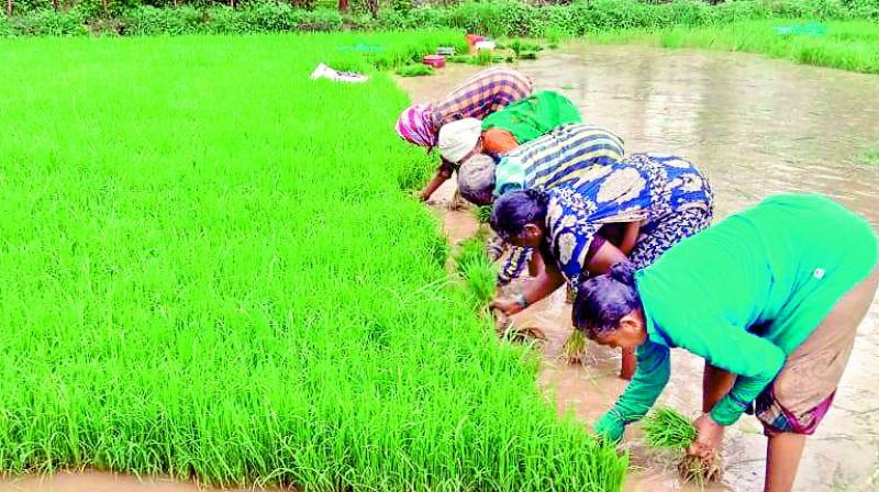 Women sow paddy in Kallur mandal of Khammam district on Sunday. (Photo: DC)