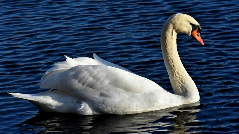 Queen Elizabeth's swans may have been killed by bird flu outbreak