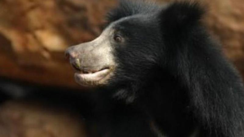 According to Paderu Range Officer S. Gangadhar Rao, the sloth bear ventured on to the village outskirts at Cheekatiputtu and Karakavalasa searching for its lost cub. (Representional Image)