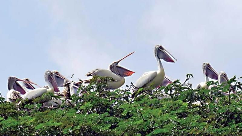 Pelicans at Kokkarebellur Conservation Reserve near Maddur in Mandya district