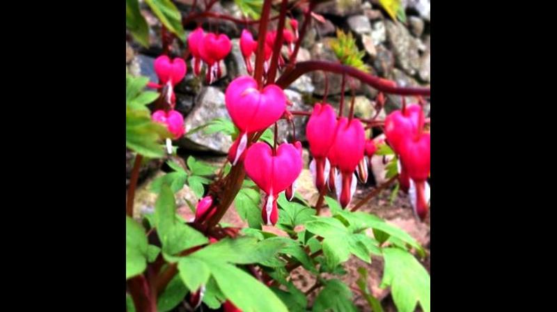 Lamprocapnos spectabilis also known as the bleeding heart. (Photo: https://www.instagram.com/p/Bi0ERwogwoa/)