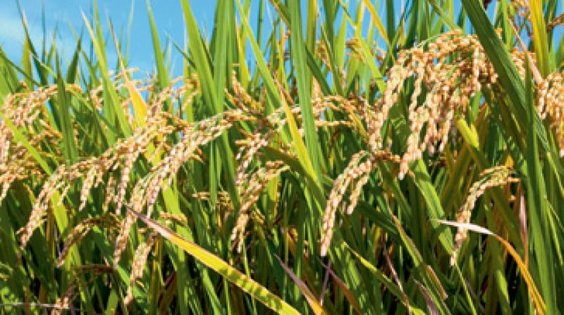The bacteria Xanthomonas oryzae pv. Oryzae causes a bacterial blight  infection in rice.