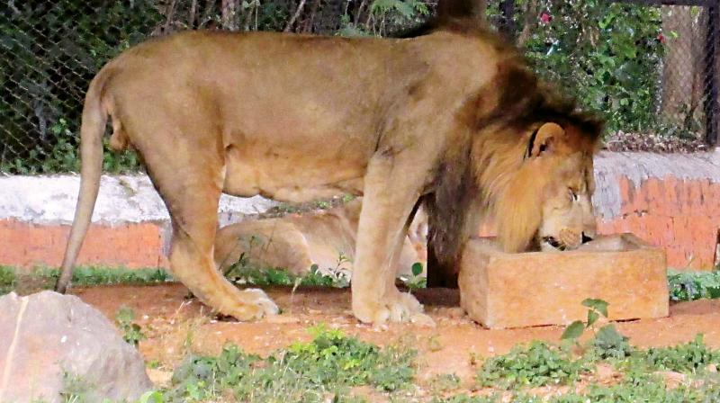 Forest official also informed that a geo-fencing system has been established which helps to identify areas safe for lions. (Photo: Representational image)