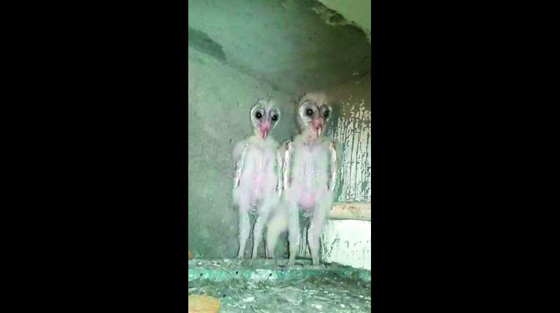 Barn owls seen in a construction site in Vizag. (Photo: DC)