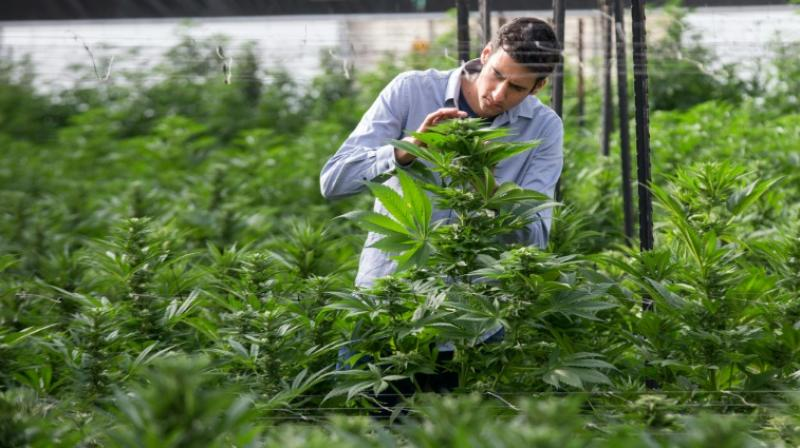 World Health Organisation Finds Medicinal Cannabis Should Be Available For Patients