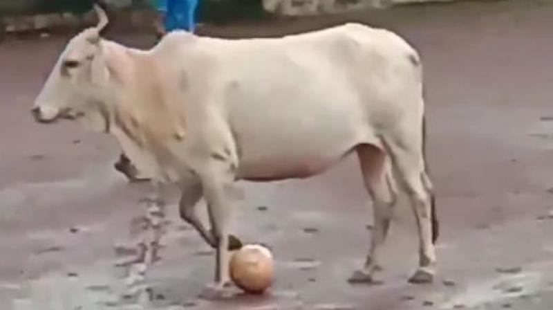 The cow had recently lost her newborn calf. It was hit by a vehicle on the road a few days back and the calf eventually succumbed to its injuries. (Photo: Screengrab)
