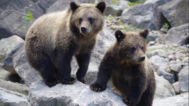 Three bear cubs were found by a couple, relaxing in the hot tub of their holiday home. (Photo: Representational/Pixabay)