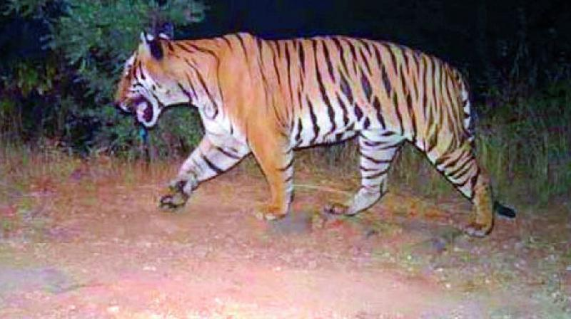 According to the Divisional Forest Officer, at present there are around 40 tigers and hundreds of leopards in the 3700 sq. km. Nagarjunasagar Srisailam Tiger Reserve.(Representational Image)