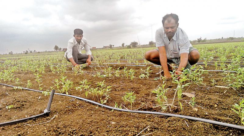 Farmers monitoring watering of plants through drip cables