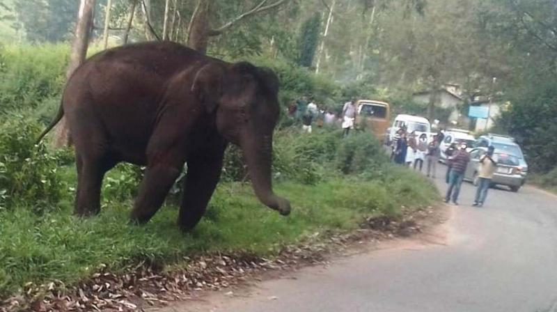A wild elephant enters a road near Mattuppetty dam in Munnar at 3pm blocking traffic for 1 hour.