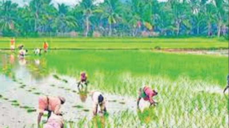 An inundated paddy field in Cauvery delta. (File picture)