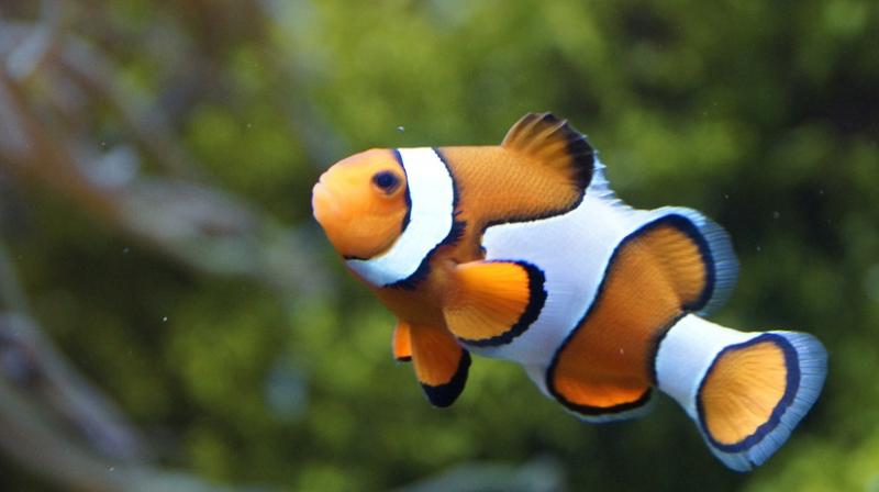 Researchers find Nemo's genetic code. (Photo: Pixabay)