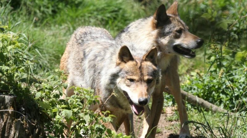 The state is currently funding protection measures in predation zones (electrified parks, dogs, guarding by shepherds). (Photo: AFP)