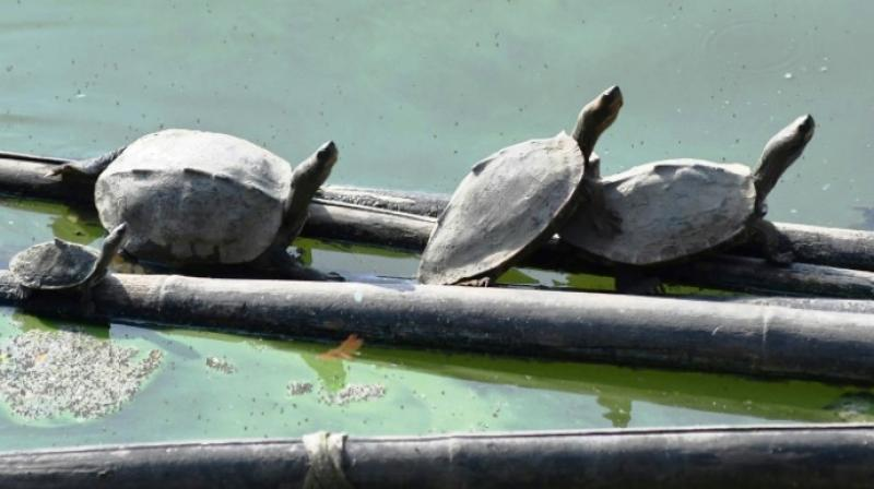The Good Earth conservation group has teamed up with the temple authorities in a turtle breeding programme.(Photo: AFP)