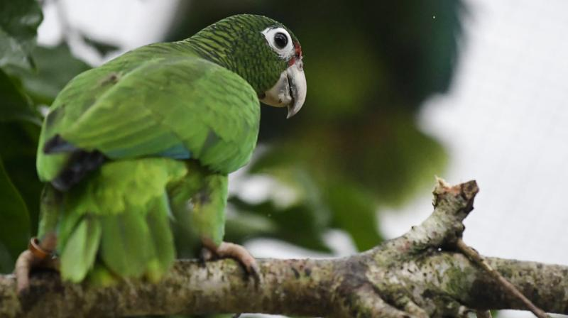 While several dozen new parrots have been born in captivity and in the wild since Maria, the species is still in danger, according to scientists. (Photo: AP)
