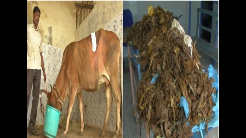 The cow is currently undergoing treatment. (Photo: ANI)