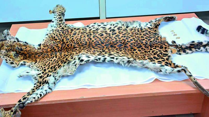 Leopard skin and claws put on display for the media on Monday by the SOT Malkajgiri team, Rachokanda, which was seized from four interstate poachers. (Photo: DC)