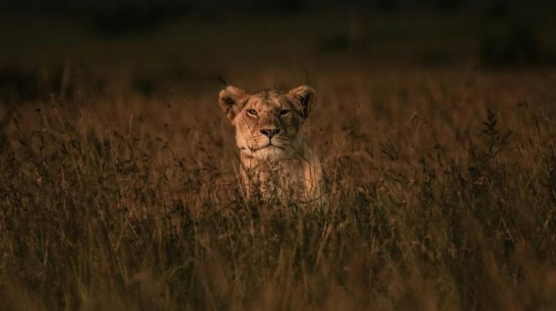 Lions kill suspected poacher in South Africa