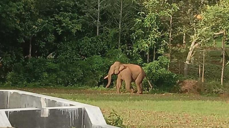 The tusker which is suspected to have killed Pushpa in Belur, Hassan on Wednesday. (Photo: DC)