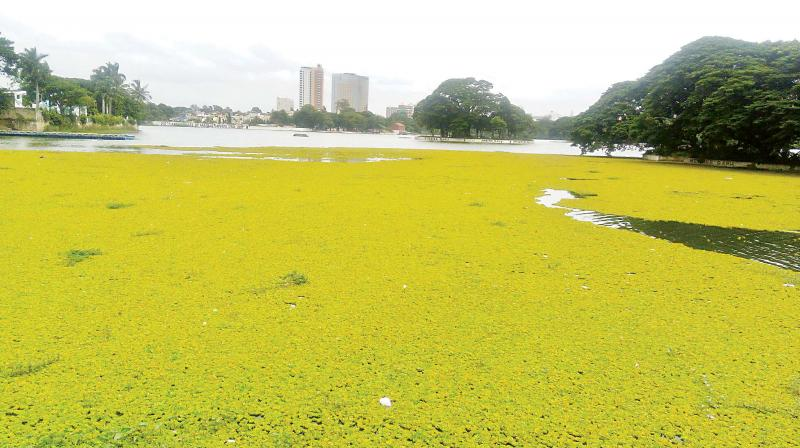 Water hyacinths in Ulsoor Lake