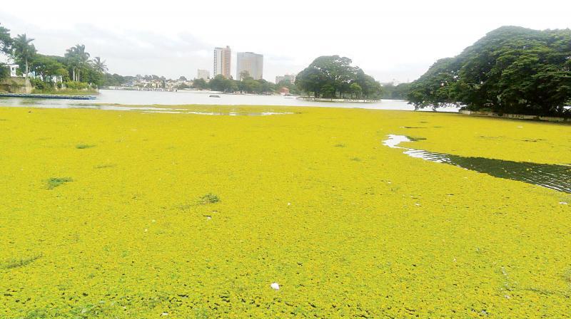 Water hyacinths in Ulsoor Lake