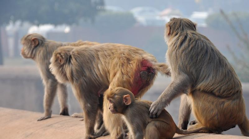 Monkeys stone man to death in UP, family wants FIR