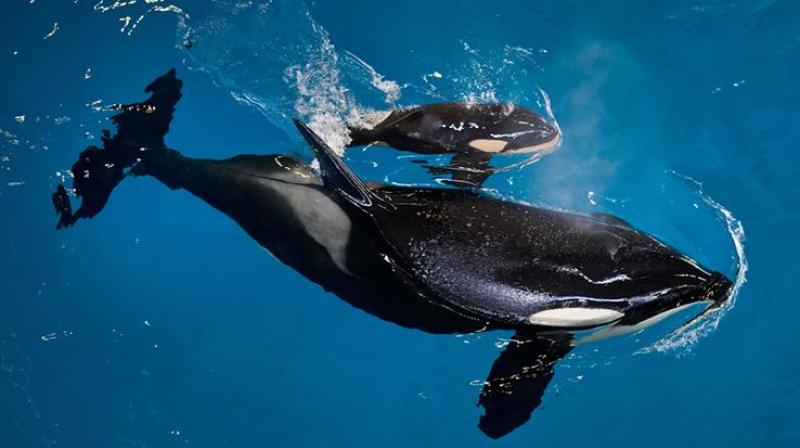 """The backlash intensified after the 2013 release of """"Blackfish,"""" a documentary critical of SeaWorld's orca care (Photo: AP)"""