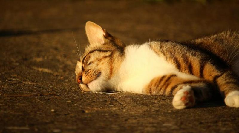 The animal rights activists have alleged that the club members had the other day after consuming liqour killed the cat, by hanging it, for fun. (Photo: Pixabay/Representational)