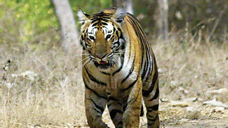The tiger count has been done in the MTR recently, which makes up for core zone of the tiger reserve, the focus has now shifted to the MTR 'buffer zone'.