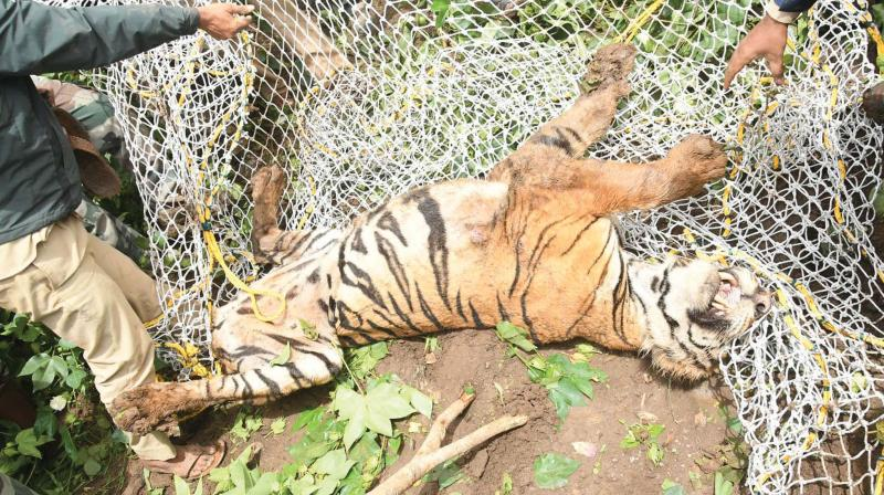 The tiger which was caught at Kalikatte near Bandipur and shifted to the Conservation, Rescue and Rehabitation Centre in Mysuru district on Sunday. (Photo:KPN)