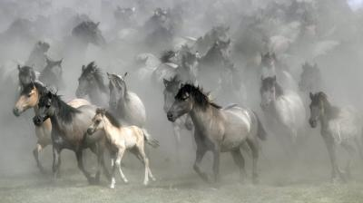The horses are known as the Dülmen pony - a prized breed and also Europe's last remaining wild horses. Only once a year they have direct contact with humans when the young stallions are caught from the flock, that was first mentioned in chronicles 700 years ago. (Photos: AP)