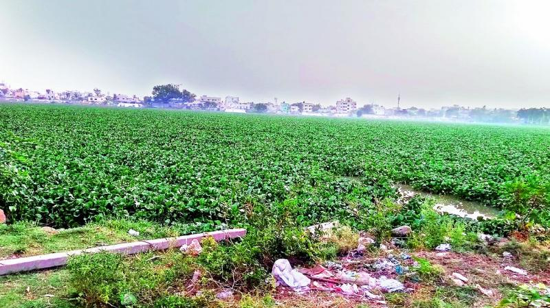 Hyacinth spread all over the Saroornagar lake after authorities stopped its removal abruptly.