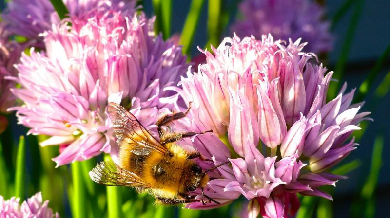 Containerized chive blossoms in a yard near Langley, Wash., which attract a variety of bee species. Gardeners are opting for more herbs in their yards for culinary use but also to attract pollinators. (Photo: AP)