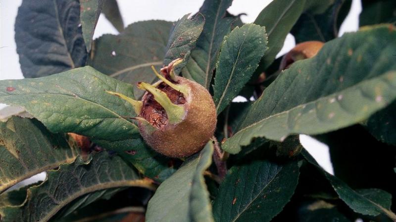 Another plus for these three ugly fruits is they are easy to grow — neither spraying nor pruning is required! (Photo: AP)