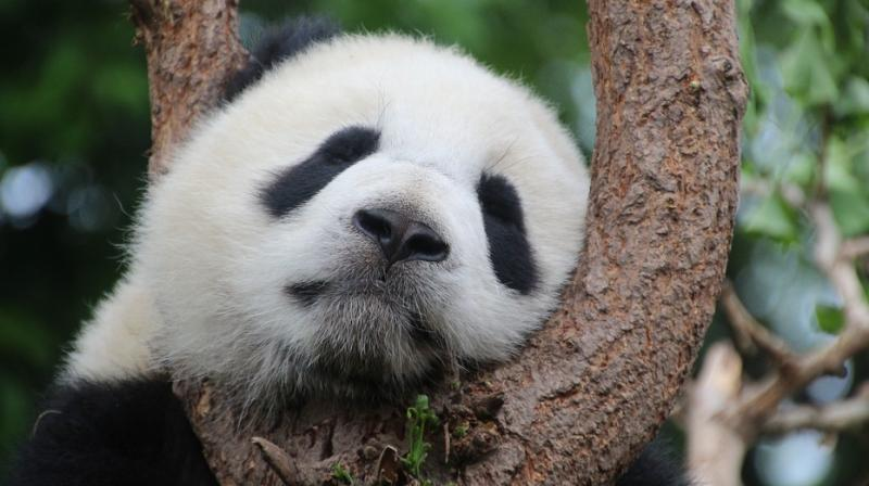 Pandas are currently listed as a vulnerable species, which means that while their survival is still threatened, conservation efforts have helped reduce their danger of extinction. (Photo: Representational/Pixabay)