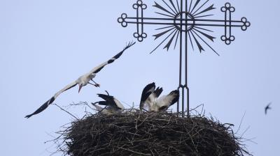 Storks nest on a top of the ruins of Catholic church in the village of Zembin. (Photo: AP/ Sergei Grits)