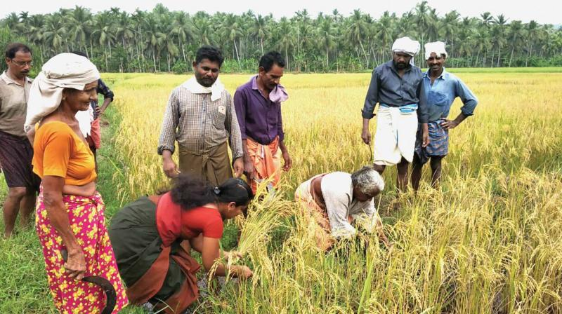 The farmers' harvest at the paddyfield at Mavat, near Arikkulam in Koyilandy.