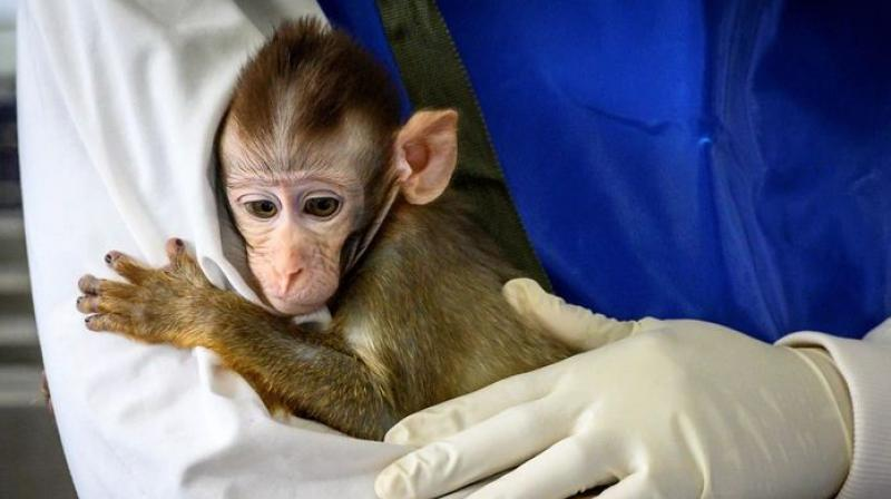 Rats, mice, rabbits, hamsters and monkeys - The true heroes in Covid-19 battle - Deccan Chronicle