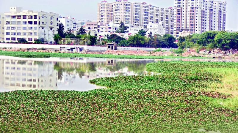 The web of this plant problem is spreading fast in Hyderabad where the species is growing in 82 lakes, of which 53 are larger than five acres.