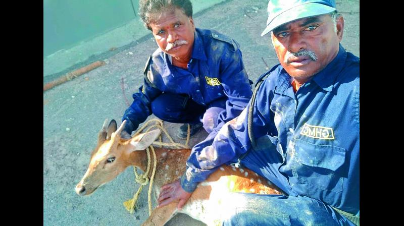 The patrolling team deployed at Nallagandla lake which found a deer stuck in a sink pit near the lake. Officials believe the deer could have strayed from the UoH.