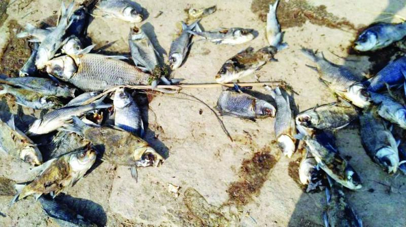 Picture shows some of the fish that died at the Shamirpet lake, about 25 km from the city, on Sunday.
