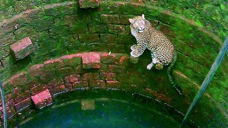 A leopard fell into a well at a village in Rajapur Tehsil of Ratnagiri district in Maharashtra. The animal was later rescued by forest department workers. (PTI)