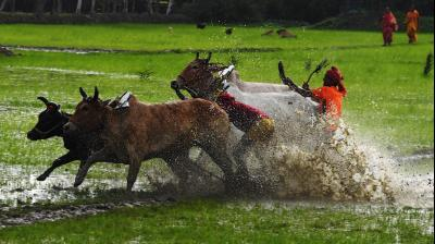 Farmers participate in the race in the belief that participation before ploughing their fields will bring good rain and a better harvest.  (Photo: AFP)