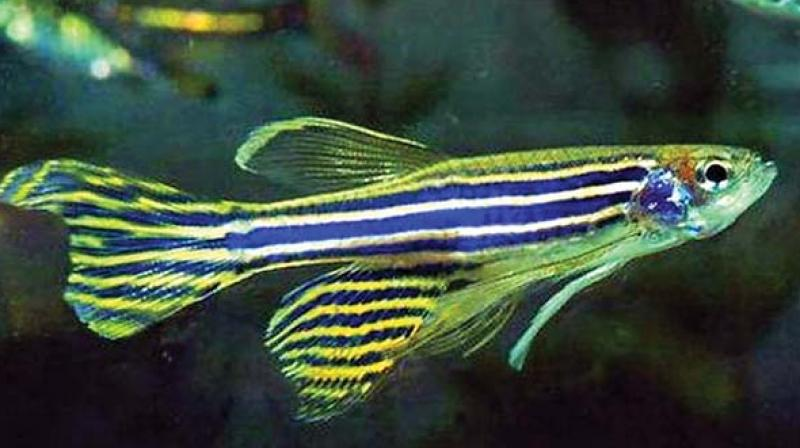 The zebrafish, which is abundant in Andhra Pradesh and Telangana, is the new big thing in medical research with about 70 per cent of its genes being identical to those of the human race.