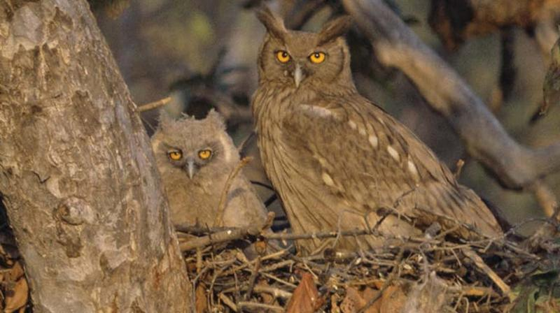 Nesting owls in Bharatpur.