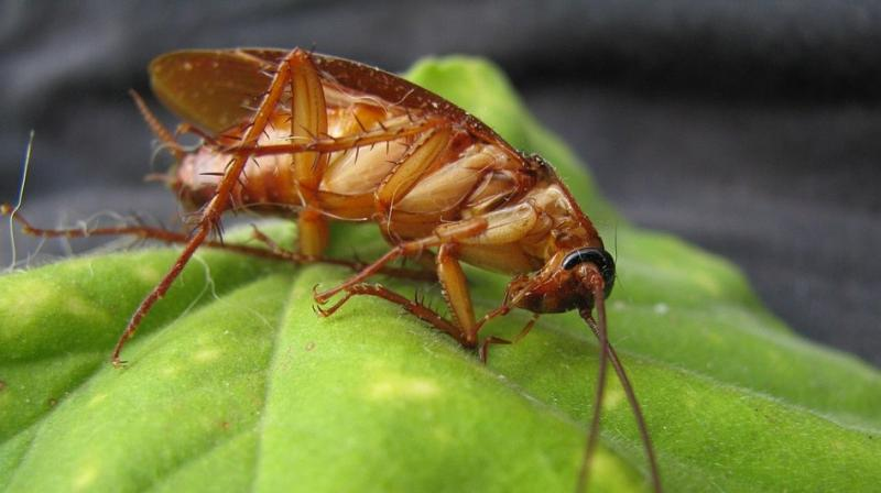 German cockroaches, the most common species found the US and Australia are slowly becoming resistant to the pesticides that were previously used to kill them. (Photo: Pixabay)